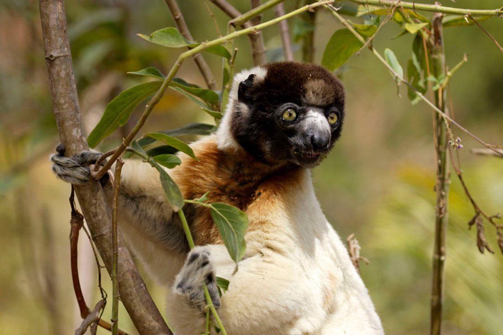 Stock Photo: 4133-7031 Verreaux`s Sifaka, Propithecus verreauxi coronatus, Madagascar
