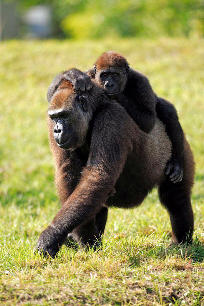 Stock Photo: 4133-7036 Lowland Gorilla, Gorilla g. gorilla, Africa