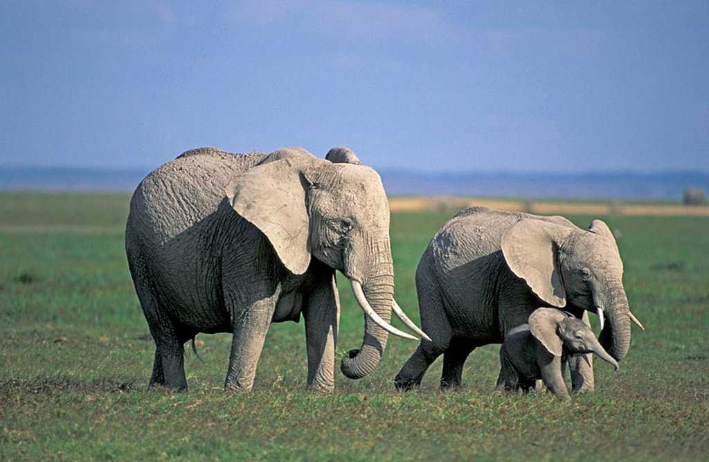Stock Photo: 4133-7127 African Elephant Loxodonta africana Amboseli Nationalpark Kenya Africa