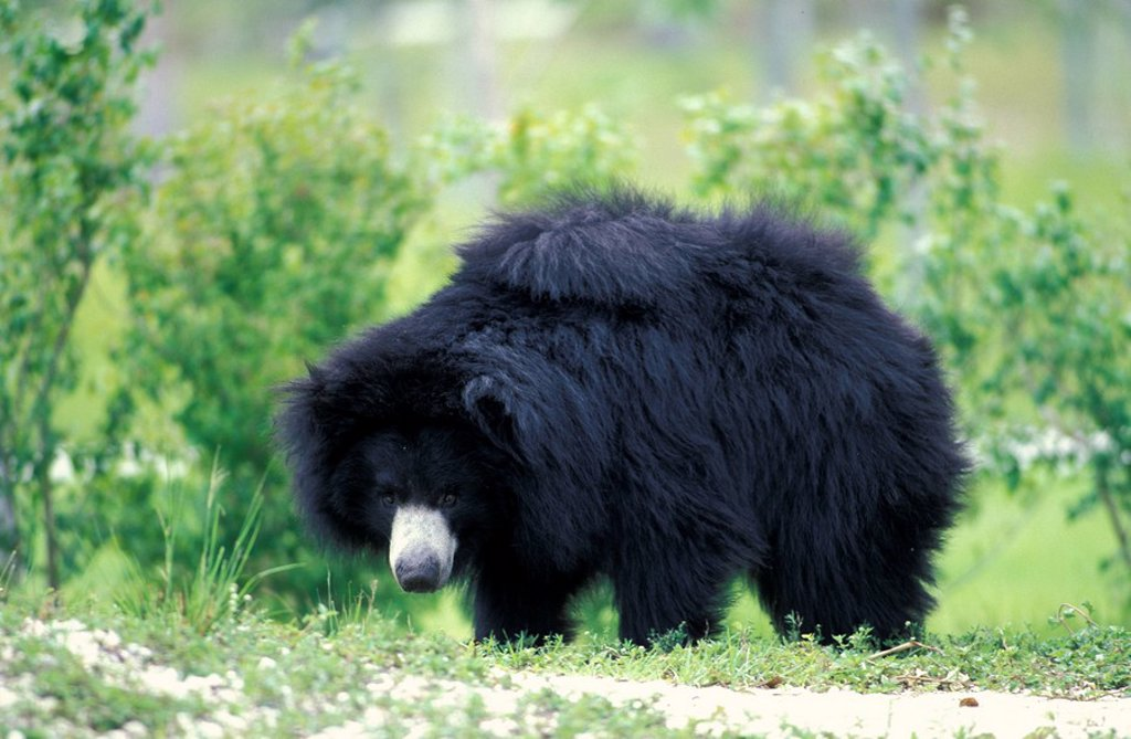 Stock Photo: 4133-7147 Sloth Bear,Melursus ursinus,Asia