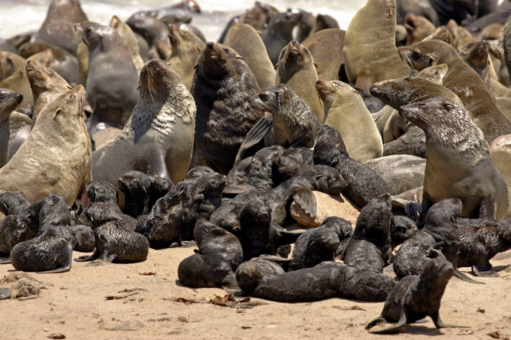 Stock Photo: 4133-7237 Cape Fur Seal, Arctocephalus pusillus, Cape Cross, Namibia , Africa