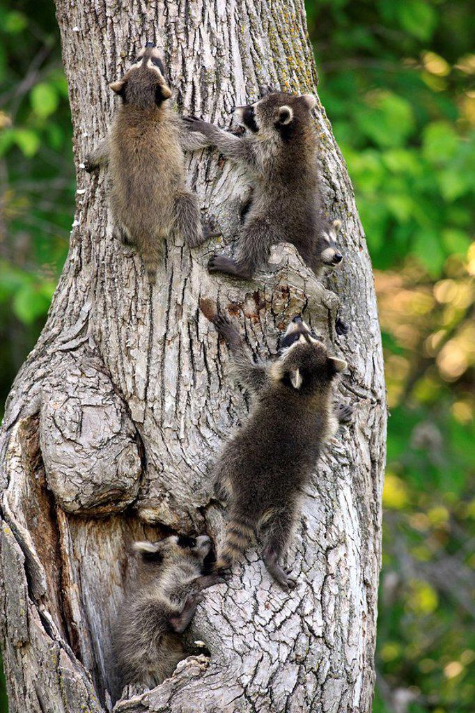 North American Raccoon,Procyon lotor,Minnesota,USA : Stock Photo