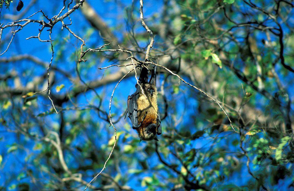 Madagaskar Fruit Bat,Pteropus rufus,Madagascar,Africa : Stock Photo