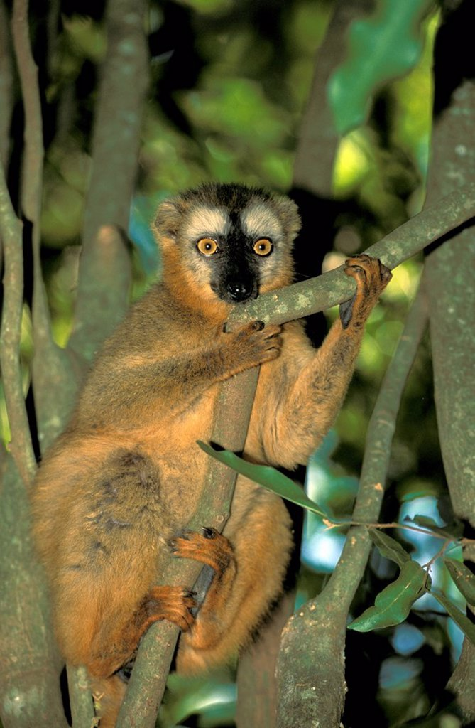 Red Fronted Lemur,Lemur fulvus rufus,Berenty Game Reserve,Madagascar,Africa : Stock Photo