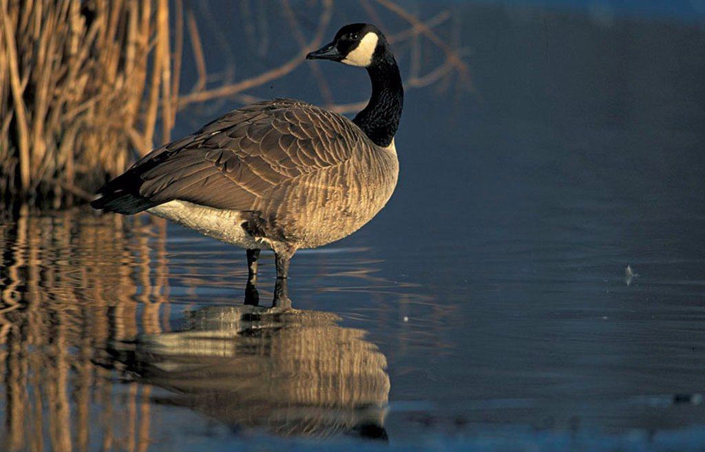 Canada Goose Branta canadensis Germany Europe : Stock Photo