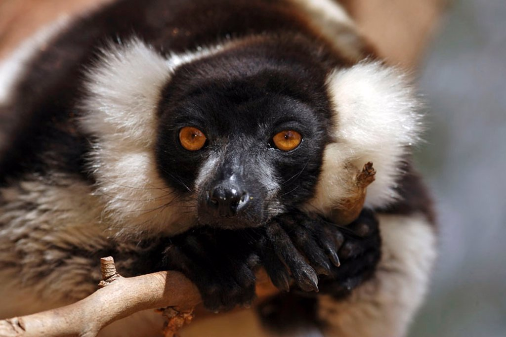Stock Photo: 4133-7660 Black and White Ruffed Lemur, Lemur variegatus variegatus, lemurs, animal, animals, mammal, mammals, primate, primates, Nature, outdoor, outdoors, wild, wildlife, zoology, Perinet , Andasibe, Madagascar