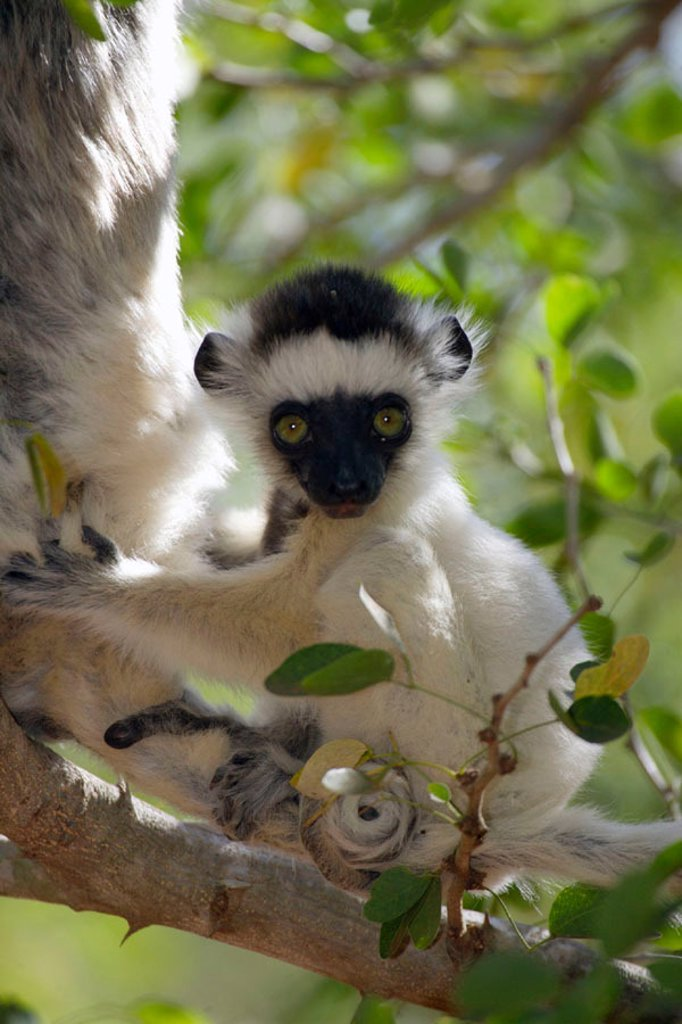 Verreaux`s Sifaka, Propithecus verreauxi coronatus, Berenty Game Reserve, Madagascar : Stock Photo