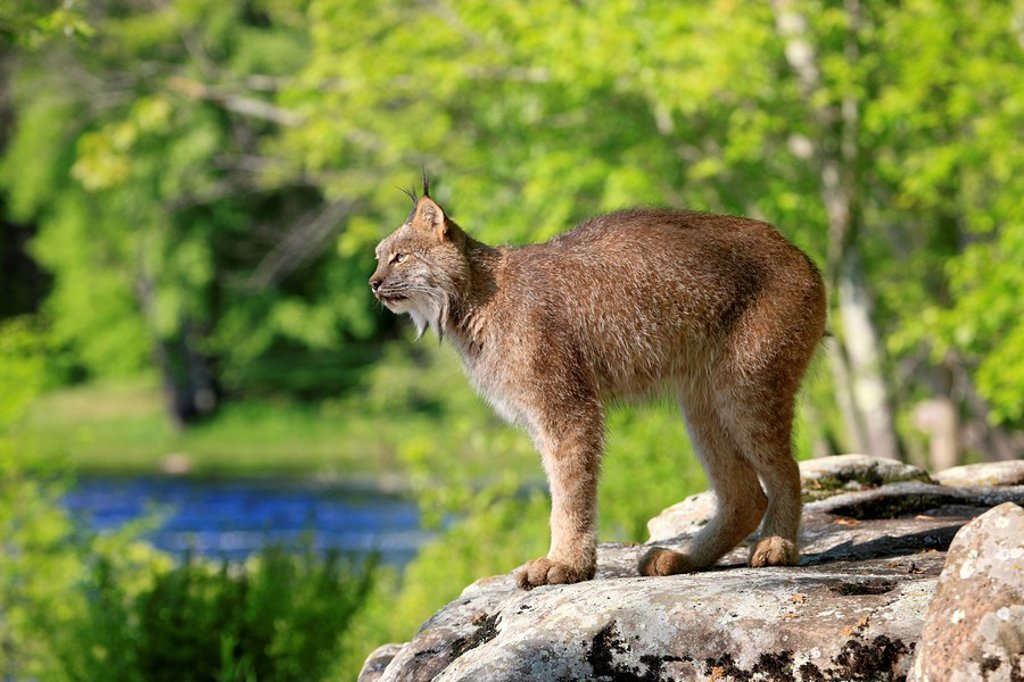 Lynx,Lynx canadensis,Minnesota,USA : Stock Photo