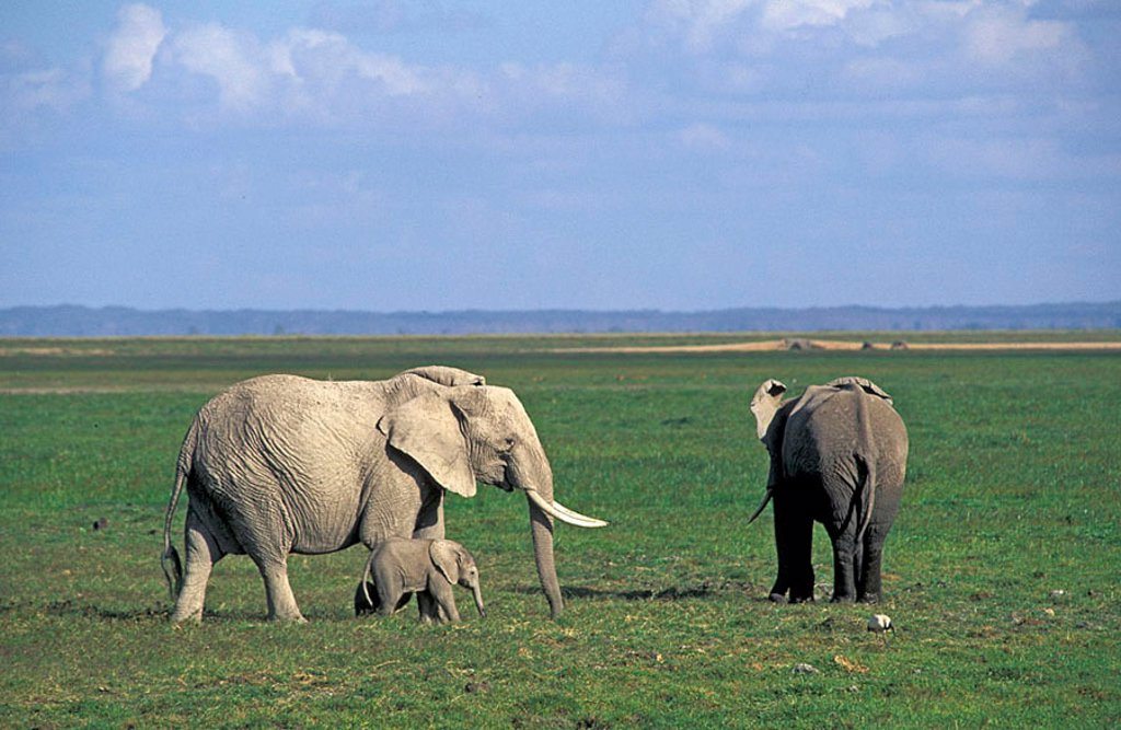 Stock Photo: 4133-7929 African Elephant Loxodonta africana Amboseli Nationalpark Kenya Africa