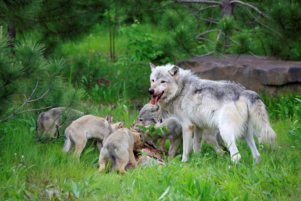 Stock Photo: 4133-8068 Gray Wolf,Grey Wolf,Canis lupus,Minnesota,USA
