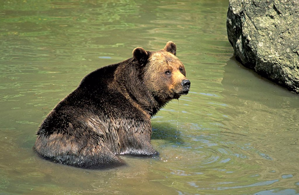 Brown Bear Ursus arctos Germany Europe : Stock Photo
