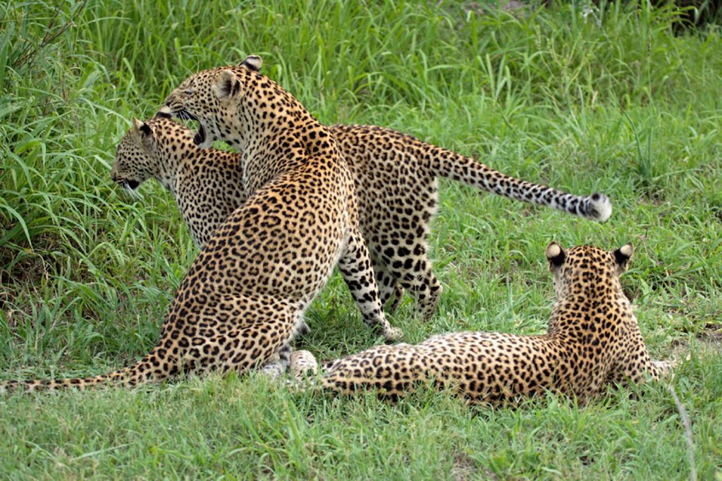 Stock Photo: 4133-8258 Leopard, Panthera pardus, Sabie Sand Game Reserve, South Africa , Africa