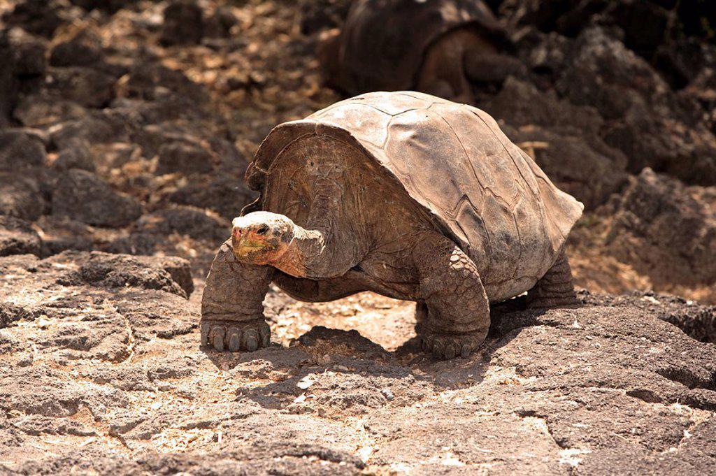 Galapagos Tortoise,Giant Tortoise,Geochelone nigra,Galapagos Islands,Ecuador : Stock Photo