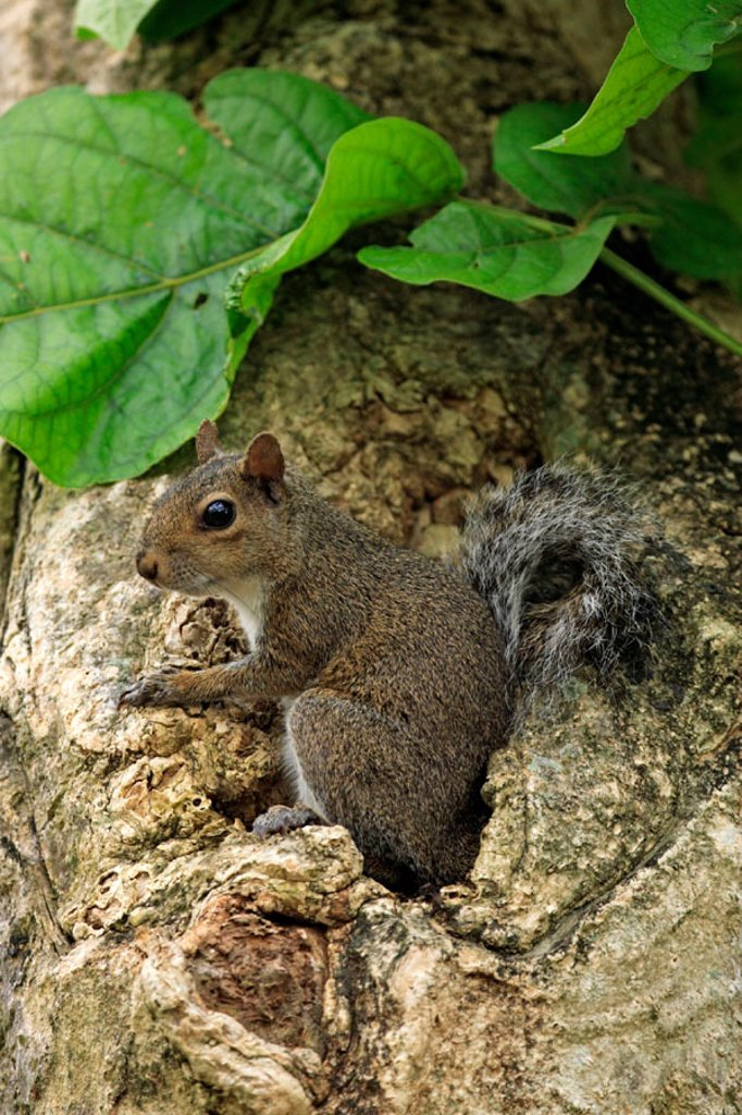 Stock Photo: 4133-8461 Eastern Gray Squirrel, Sciurus carolinensis, Florida, USA