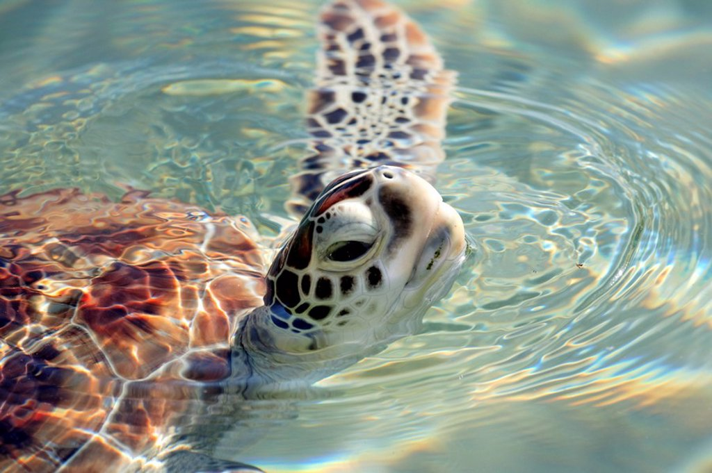 Stock Photo: 4133-8541 Green Sea Turtle,Chelonia mydas,Cayman Islands,Grand Cayman,Caribbean