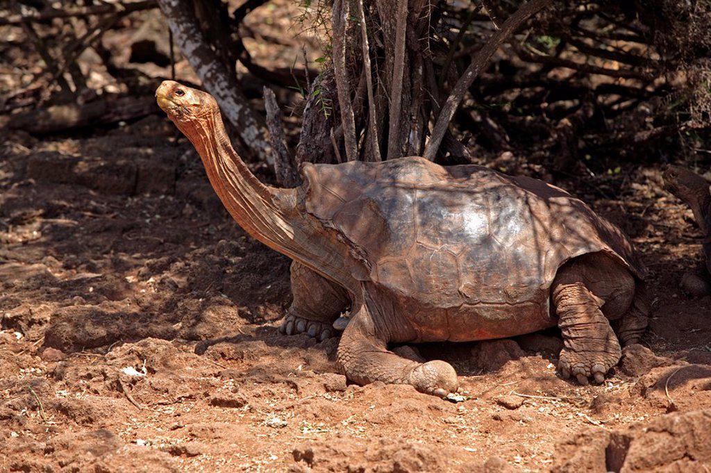 Stock Photo: 4133-8542 Galapagos Tortoise,Giant Tortoise,Geochelone nigra,Galapagos Islands,Ecuador