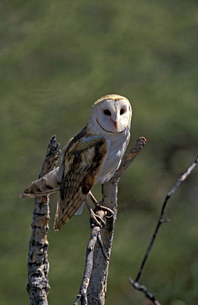 Stock Photo: 4133-8603 Barn Owl,Tyto alba,Sonora Desert,Arizona,USA