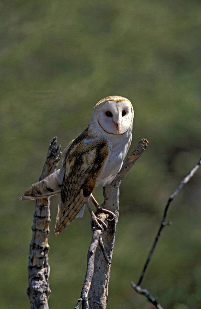 Barn Owl,Tyto alba,Sonora Desert,Arizona,USA : Stock Photo