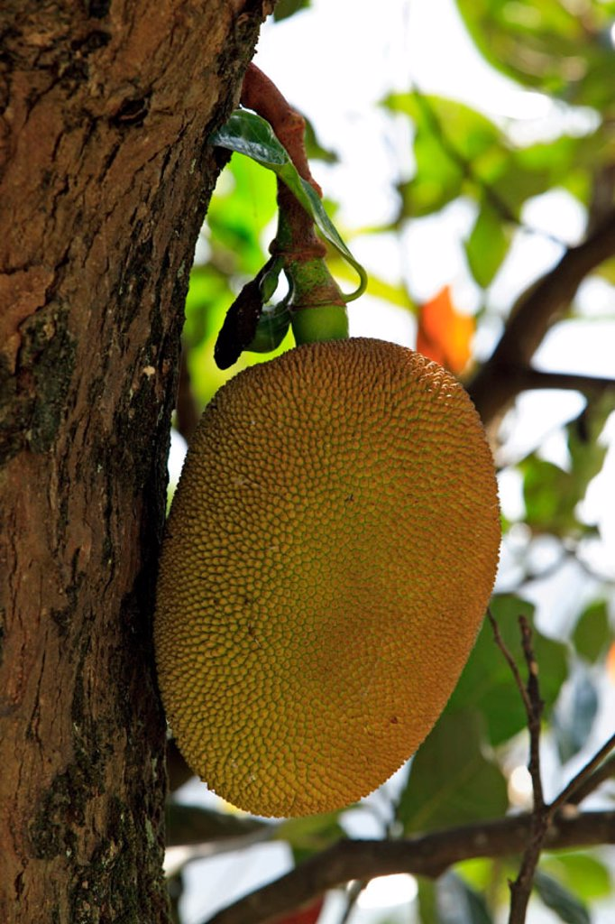 Stock Photo: 4133-8632 Jackfruit, Artocarpus heterophyllus, Nosy Be, Madagascar