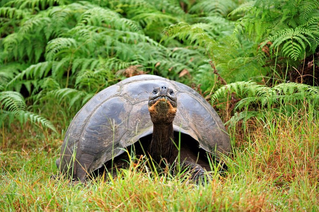 Stock Photo: 4133-8763 Galapagos Tortoise,Giant Tortoise,Geochelone nigra,Galapagos Islands,Ecuador