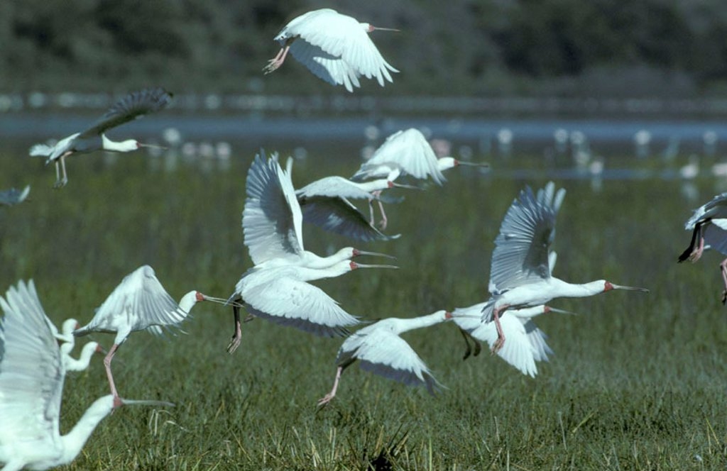 African Spoonbill, Platalea alba, Chobe Nationalpark, Botswana : Stock Photo