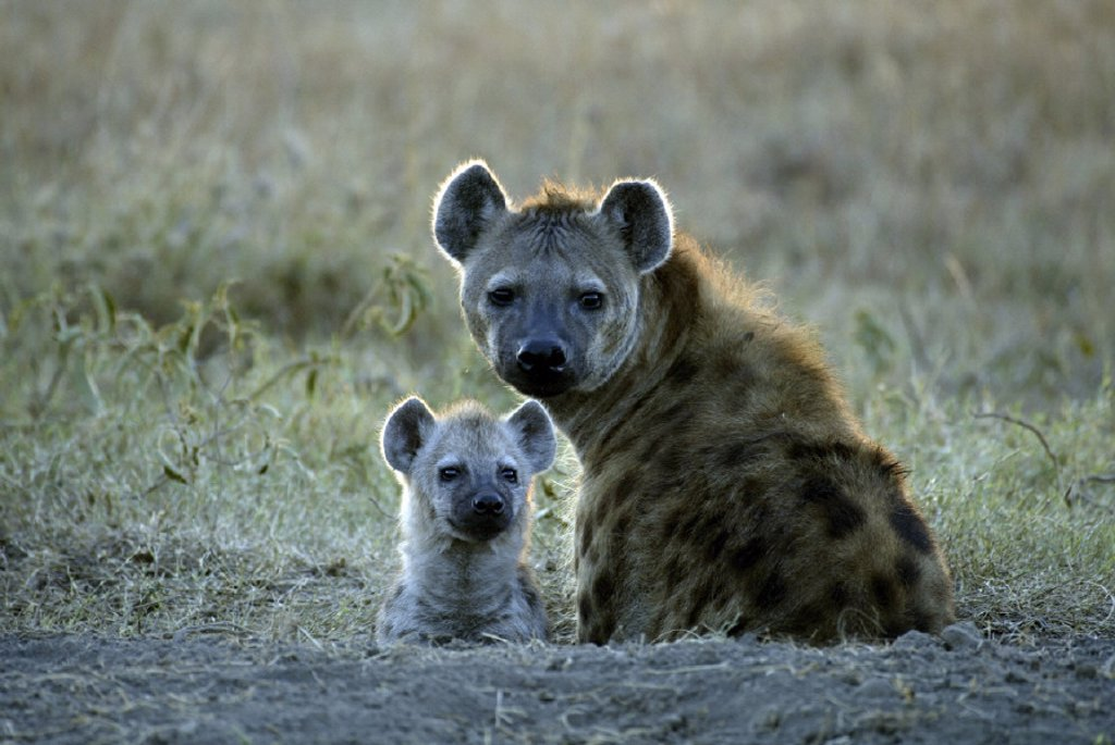 Stock Photo: 4133-9320 Spotted Hyaena, Crocuta crocuta, Masai Mara, Kenya