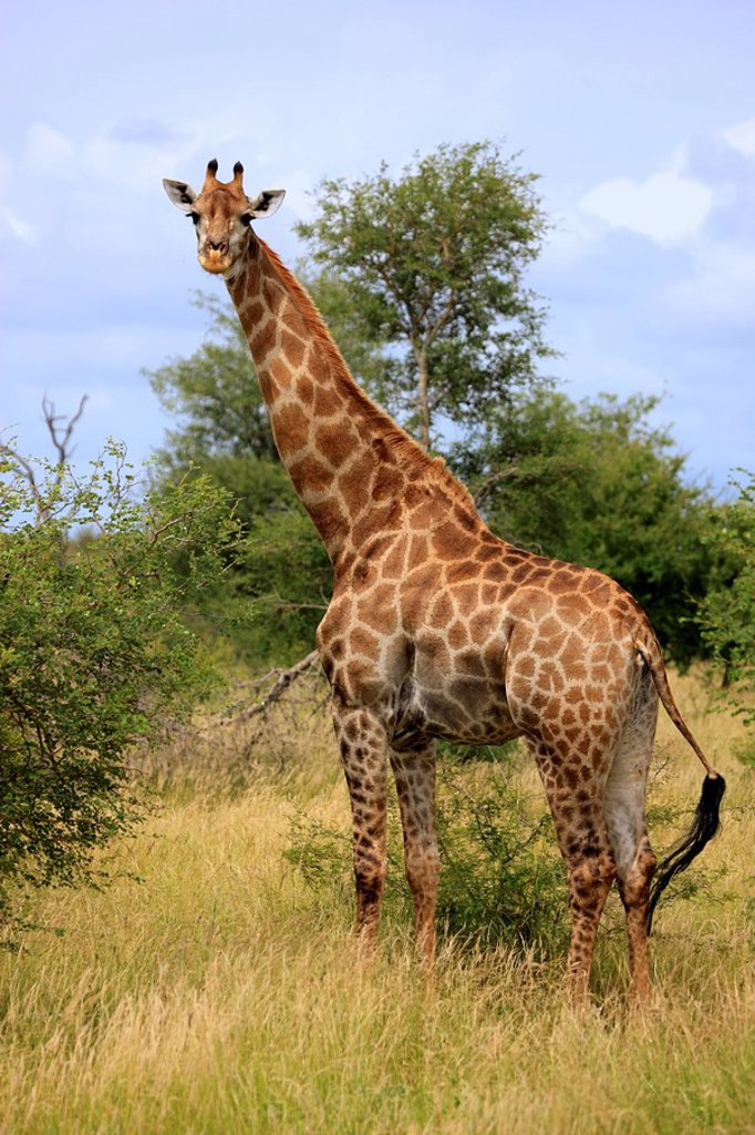Stock Photo: 4133-9364 Cape Giraffe,Giraffa camelopardalis giraffa,Kruger Nationalpark,South Africa,Africa
