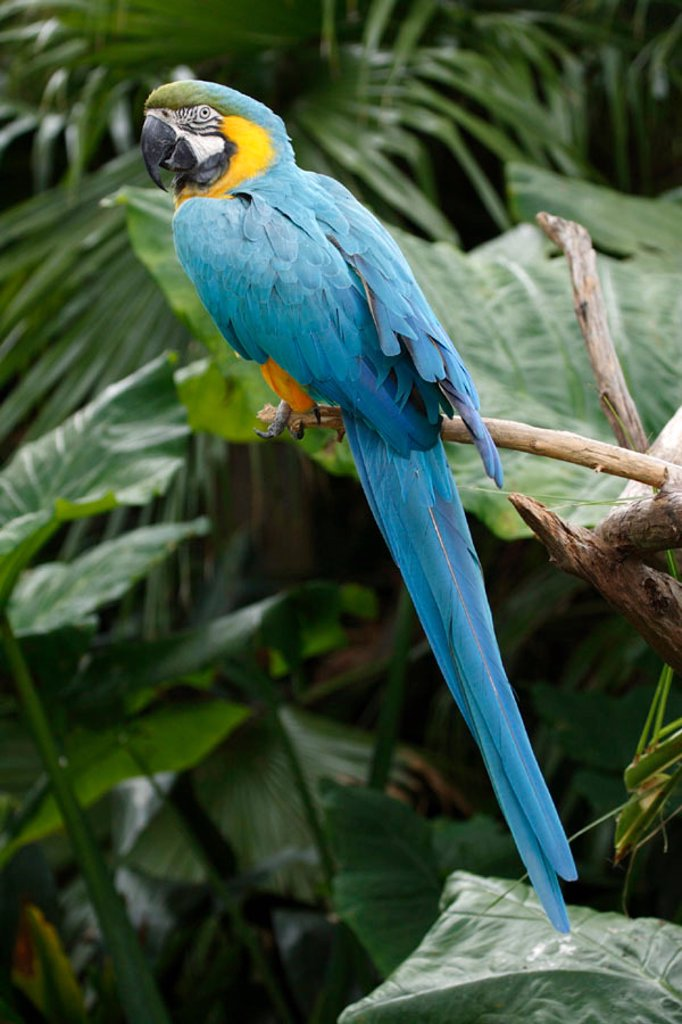 Stock Photo: 4133-9378 Blue and Yellow Macaw, Ara ararauna, South America