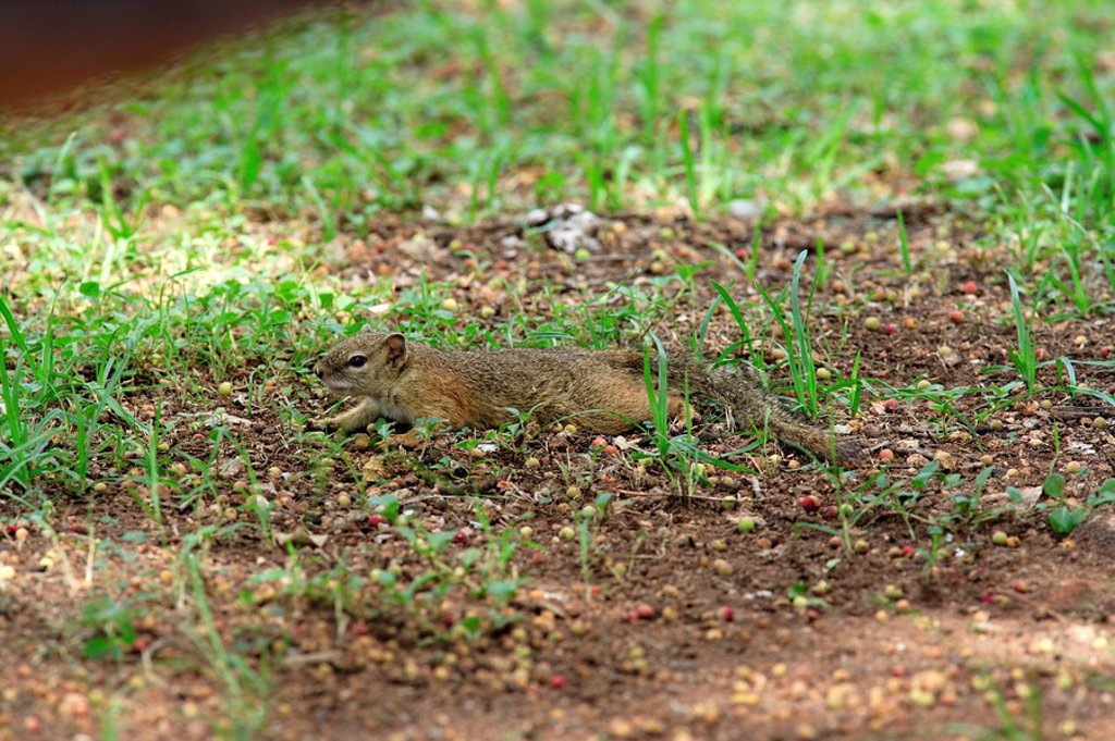 Stock Photo: 4133-9547 Tree Squirrel,Paraxerus cepapi,Kruger Nationalpark,South Africa,Africa
