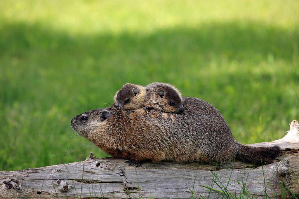 Stock Photo: 4133-9745 Woodchuck,Groundhog,Marmota monax,Minnesota,USA