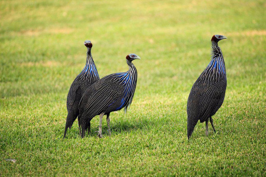 Vulturine Guinea Fowl,Acryllium vulturinum,Africa : Stock Photo