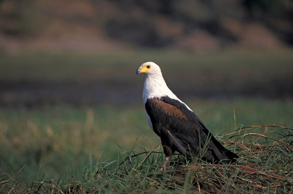 Stock Photo: 4133-9870 African Fish Eagle,Haliaeetus vocifer,Chobe Nationalpark,Botswana,Africa