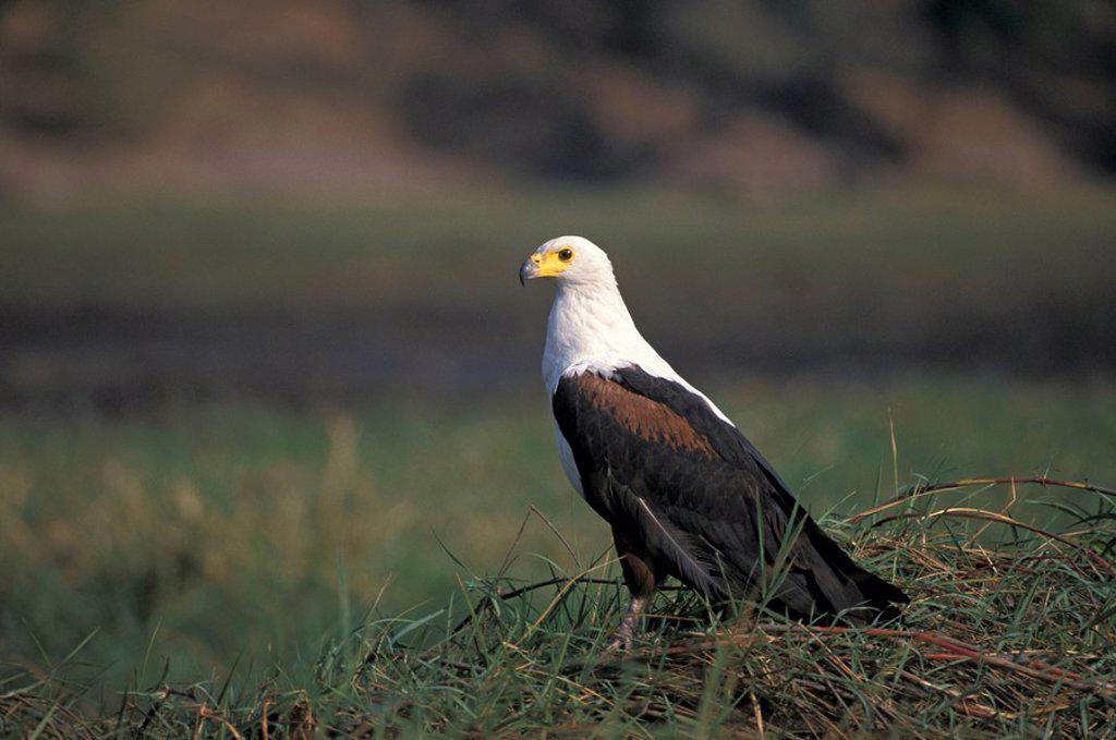 African Fish Eagle,Haliaeetus vocifer,Chobe Nationalpark,Botswana,Africa : Stock Photo