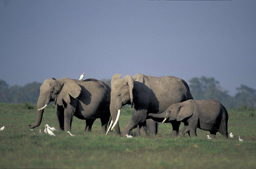 Stock Photo: 4133-9874 African Elephant , Loxodonta africana, Amboseli National Park, Kenya , Africa