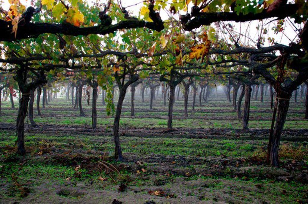 Vines in a vineyard, Lodi, California, USA : Stock Photo