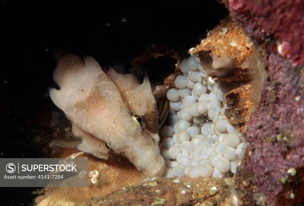 Stock Photo: 4141-7284 grunt sculpin rhamphocottus richardsoni tending eggs. 7cms long & at a depth of 10m. onagawa, miyagi, japan.