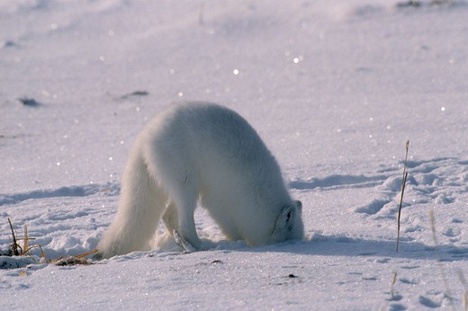 Stock Photo: 4141-10328 arctic fox alopex lagopus white form digging for prey, hudson bay, canada.