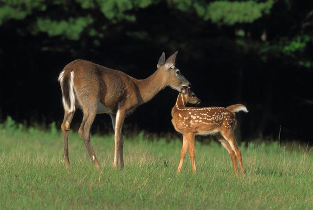 whitetail deer odocoileus virginianus female & young. north america. : Stock Photo