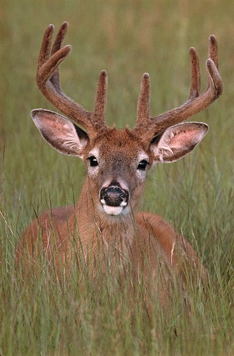 Stock Photo: 4141-10448 whitetail deer odocoileus virginianus male with antlers in velvet