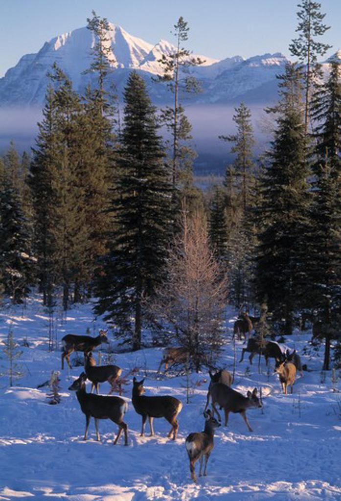 Stock Photo: 4141-10464 blacktail or mule deer odocoileus hemionus group in woodland north america