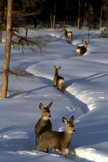 Stock Photo: 4141-10571 blacktail or mule deer odocoileus hemionus on zig-zag path in snow glacier national park, montana, usa