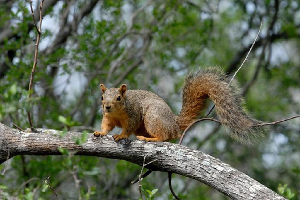 Stock Photo: 4141-10773 eastern fox squirrel sciurus niger texas, north america.
