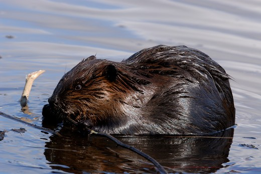 Stock Photo: 4141-10848 north american beaver (wild) castor canadensis feeding on branch. spring northern ontario, canada.