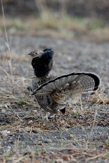 Stock Photo: 4141-10852 ruffed grouse bonasa umbellus male displaying for nearby female. northern ontario, canada.
