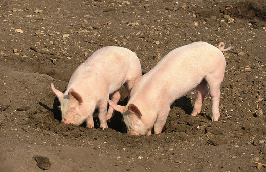 Stock Photo: 4141-10963 large white pig, piglets rooting in soil