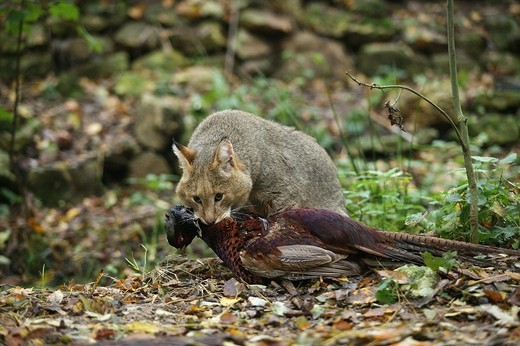 jungle cat felis chaus, adult with a kill, a common pheasant phasianus colchicus  : Stock Photo
