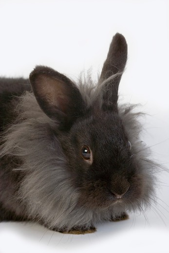 Stock Photo: 4141-11048 black dwarf rabbit against white background