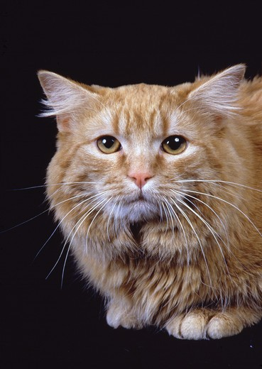 Stock Photo: 4141-11232 cymric cat face detail long-haired manx breed