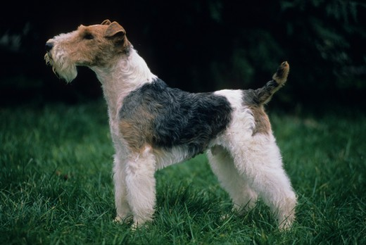 Stock Photo: 4141-11279 wire-haired fox terrier