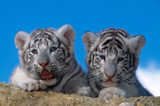Stock Photo: 4141-11312 white tiger two cubs panthera tigris albino genetic variant endangered species